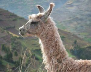 it's a llama!!!