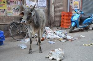 cows rule!