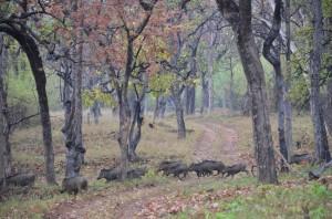 tadoba wild boar