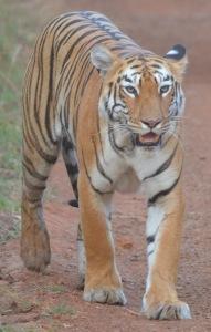 that tiger